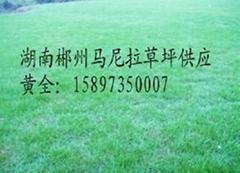 供應廣東深圳馬尼拉草皮