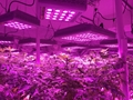 Indoor plants growing 300W full spectrum led grow light for medical plants 4