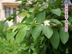 番石榴叶 芭乐叶 鸡矢茶 Guava  Leaf