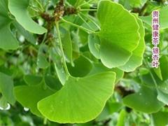 银杏叶 白果叶 飞蛾叶 Ginkgo Leaf