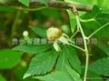 Palmleaf Raspberry  leaf