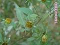 Bur Beggarticks Herb