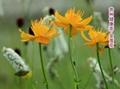 Flower of Chinese globeflower