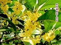 Sweet Osmanthus
