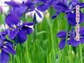 Large Violet Flower