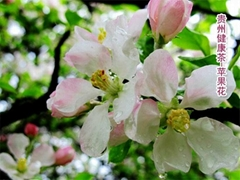 蘋果花 Apple Flower