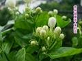 Jasmine Flower,prevent radiation