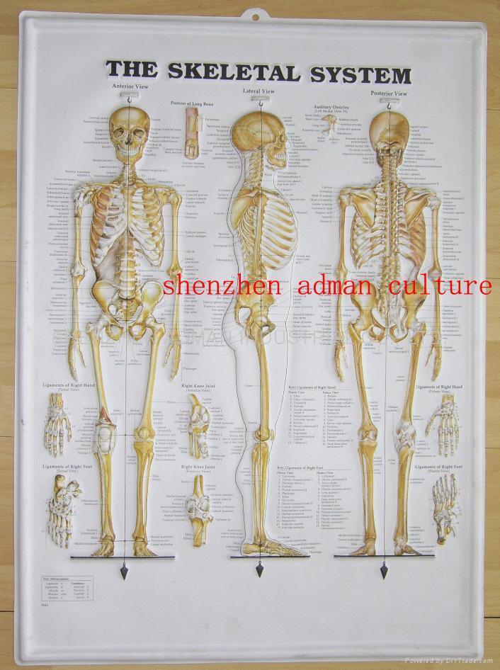 SKELETON--3D EMBOSSED HUMAN BODY ANATOMY CHART/POSTER - QM-120--124 ...