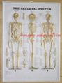 三维立体PVC人体挂图/广告画