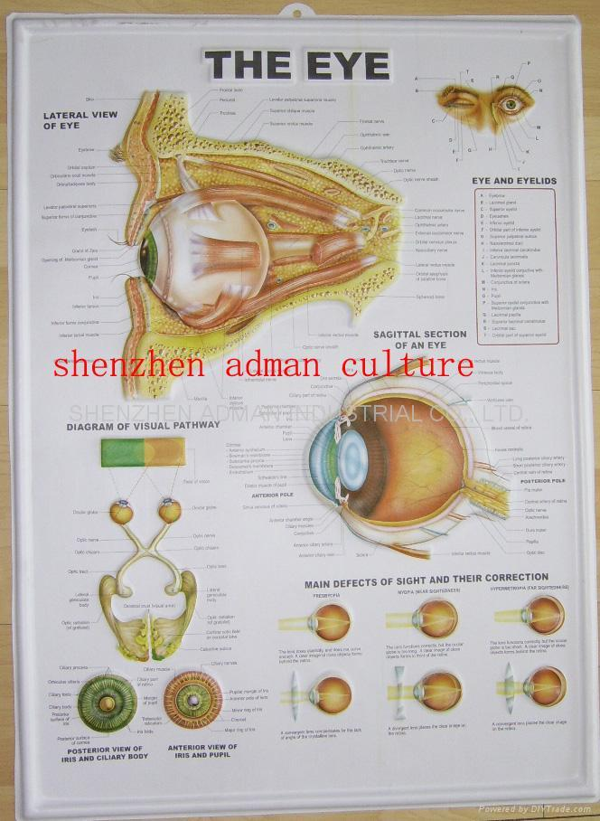 EYE--3D EMBOSSED MEDICAL HUMAN PVC CHART/POSTER 1