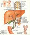 EAR--3D EMBOSSED MEDICAL HUMAN BODY ANATOMY CHART/POSTER 3