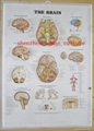 BRAIN--3D EMBOSSED HUMAN BODY ANATOMY CHART/POSTER