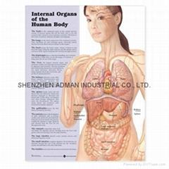 人体的内部  ---三维立体PS/PET医学挂图/广告画