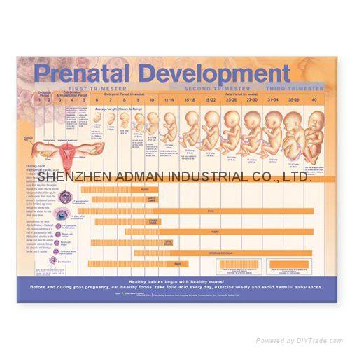 PRENATAL DEVELOPMENT--3D RELIEF WALL MEDICAL/PHARMA CHART/POSTER