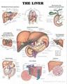 肝脏--三维立体PS/PET医