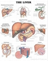 The Liver--3D RELIEF WALL MEDICAL/PHARMA CHART/POSTER