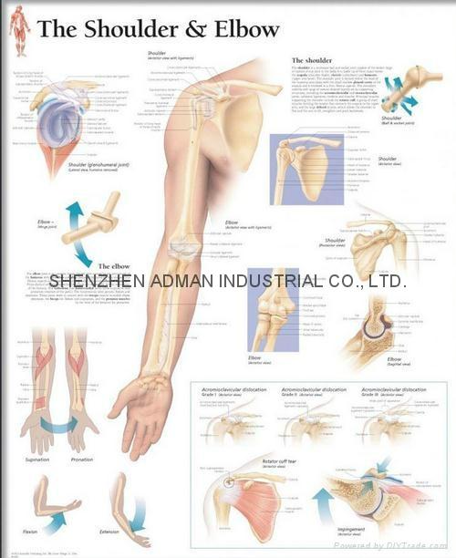 肩和肘--三维立体PS/PET医学挂图/广告画 1