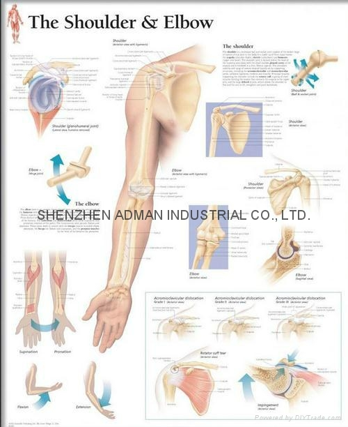 THE SHOULDER & ELBOW--3D RELIEF WALL MEDICAL/PHARMA CHART/POSTER