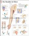 肩和肘--三維立體PS/PET