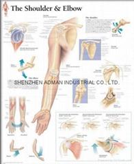 肩和肘--三维立体PS/PET医学挂图/广告画