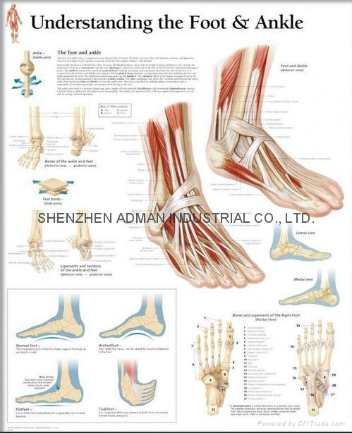 UNDERSTANDING THE FOOT & ANKLE--3D RELIEF WALL MEDICAL/PHARMA CHART/POSTER