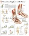 了解腳和腳踝-三維立體PS/PET醫學挂圖/廣告畫