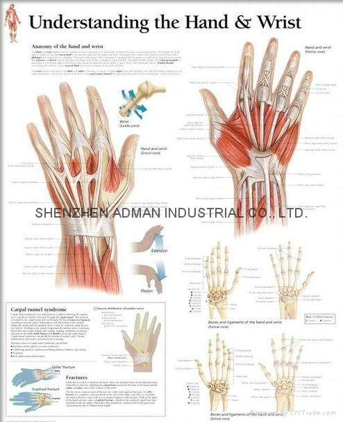 UNDERSTANDING THE HAND & WRIST--3D RELIEF WALL MEDICAL/PHARMA CHART/POSTER
