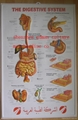 DIGESTIVE 3D RELIEF WALL MEDICAL/PHARMA CHART/POSTER