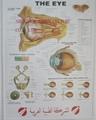 EYE 3D RELIEF WALL MEDICAL/PHARMA CHART