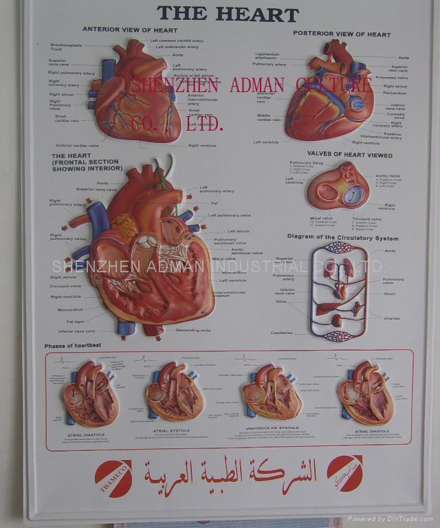 心脏三维立体PS/PET医学挂图/广告画 1