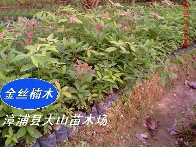 金丝楠木(名贵用材)