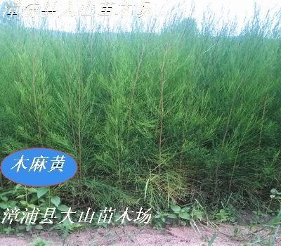 木麻黄苗   生态造林苗 3