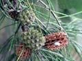 木麻黄苗   生态造林苗 5