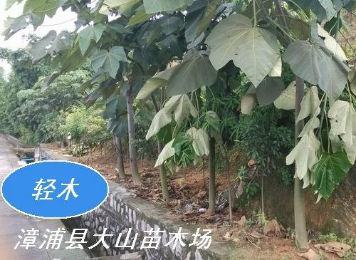 蚬木(珍贵用材与绿化)