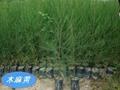 木麻黄苗   生态造林苗 2