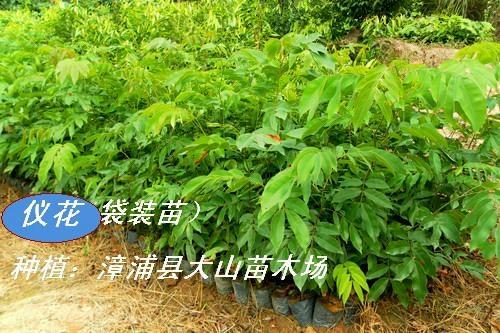 仪花(绿化优秀品种)