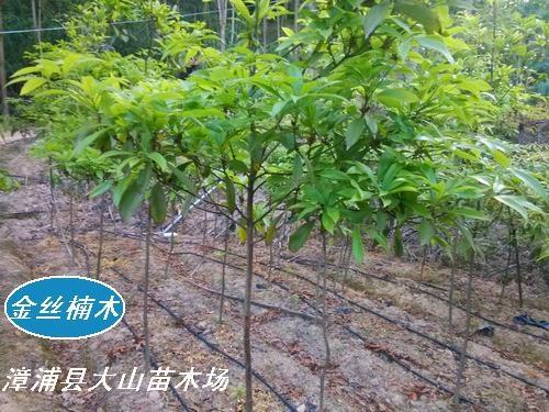 金丝楠木(漳浦县种植2年)