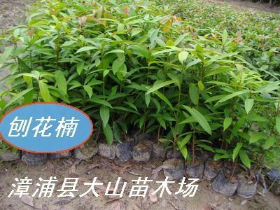 中华红润楠(绿化与用材)