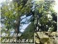 福建野生青錢柳葉 4