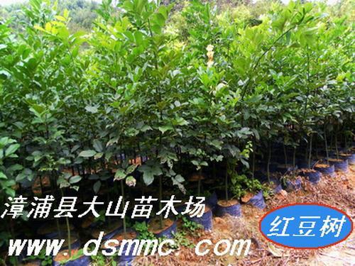 紅豆樹鄂西紅豆 5