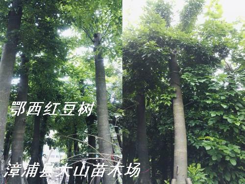 紅豆樹鄂西紅豆 4
