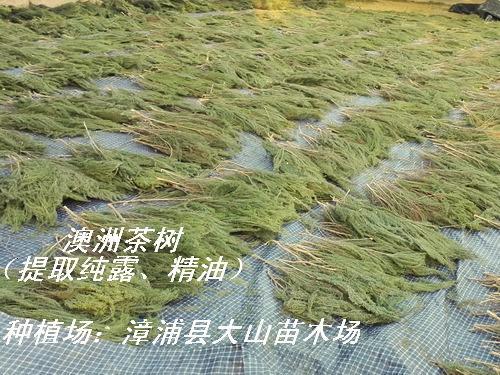 澳洲茶树原料 提取精油纯露 6