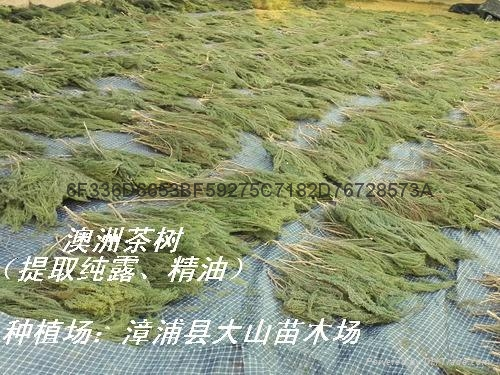 澳洲茶树原料 提取精油纯露 2