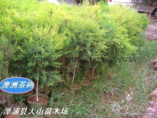 澳洲茶樹原料 提取精油純露 4