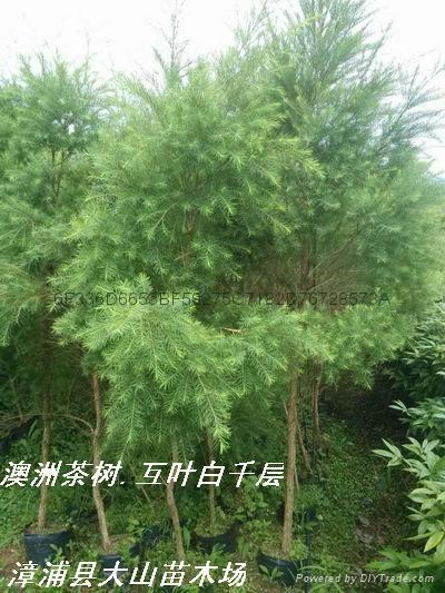 澳洲茶樹原料 提取精油純露 5