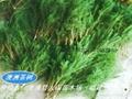 澳洲茶树原料 提取精油纯露 5