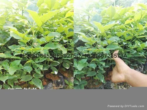 紅豆樹鄂西紅豆 2