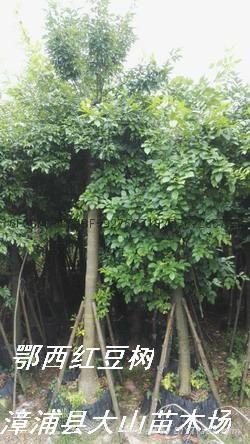 紅豆樹鄂西紅豆 1