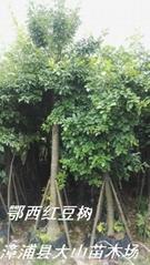紅豆樹鄂西紅豆
