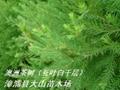 澳洲茶樹原料 提取精油純露 3